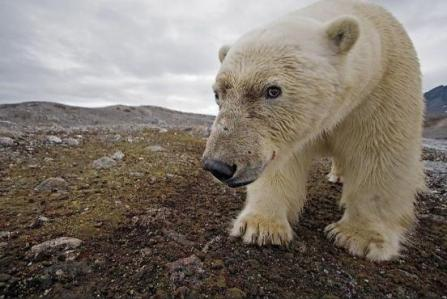 nicklen-polar-bear